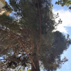 Pinus brutia par Semences du Puy