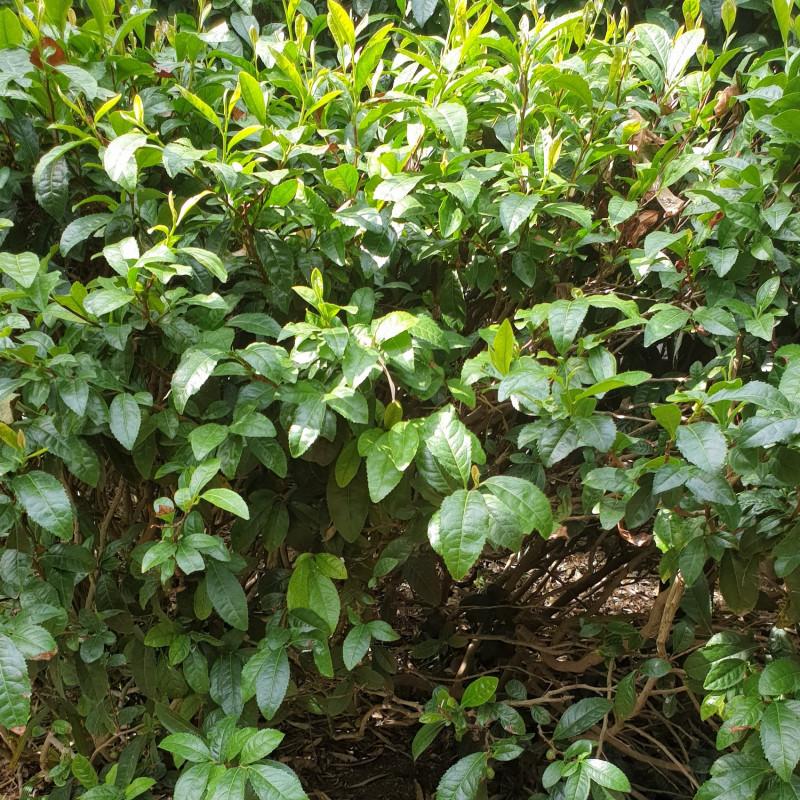 Camellia sinensis par Semences du Puy