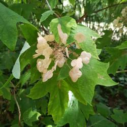 Hydrangea quercifolia Semences du Puy