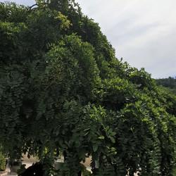 Sophora japonica par Semences du Puy