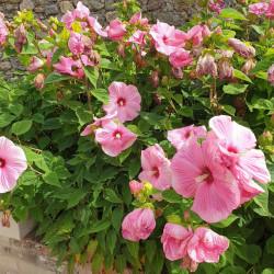 Hibiscus moscheutos par Semences du Puy
