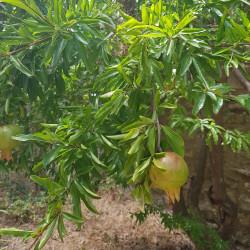 Punica granatum nana Semences du Puy
