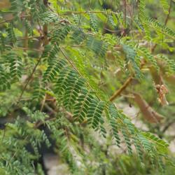 Caesalpina gilliesii Semences du Puy