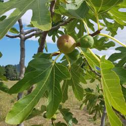 Ficus carica Semences du Puy