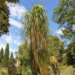Beaucarnea recurvata Semences du Puy