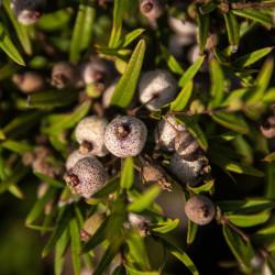 Austromyrtus dulcis par sandid de Pixabay