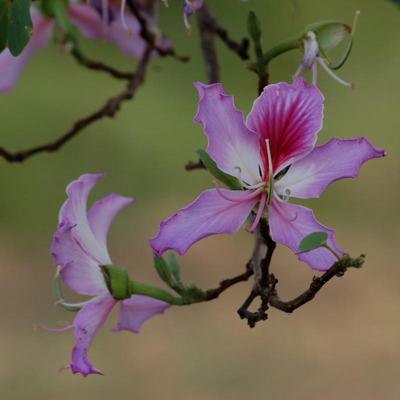 Bauhinia variegatapar Amandad de Pixabay