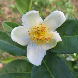 Camellia sinensis par Natasha G de Pixabay