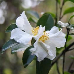 Camellia sassanka par Pat_Scrap de Pixabay