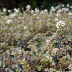 Acaena microphylla par Salicyna de Wikimedia commons