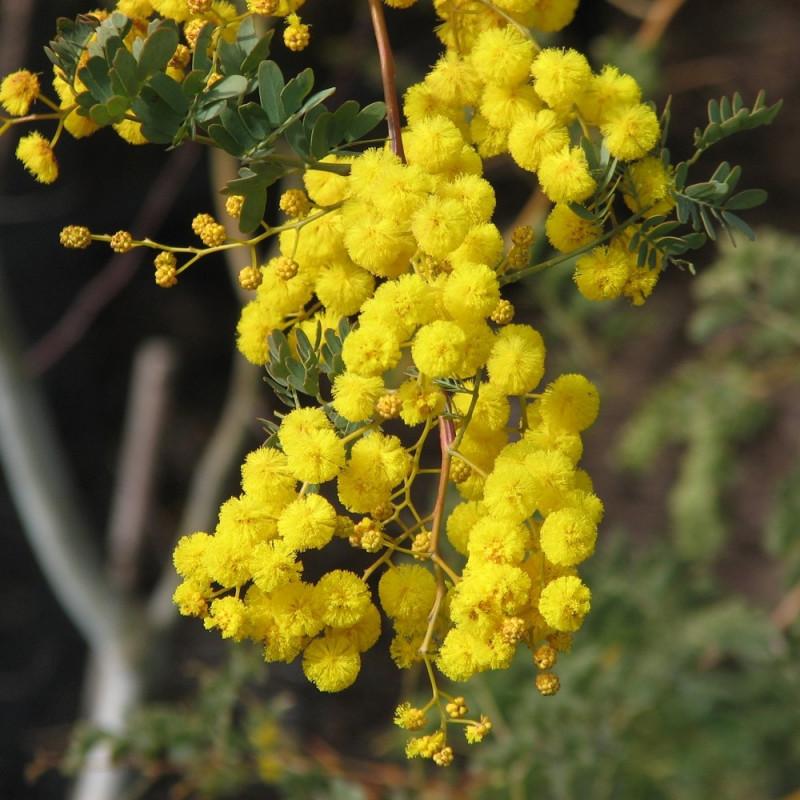 Acacia spectabilis par Melburnian de Wikimedia commons