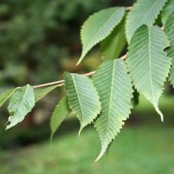 Erable à feuilles de Charme
