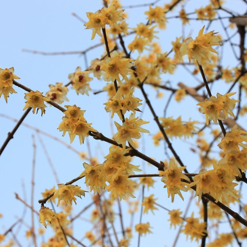 Chimonanthus praecox par cong yu de Pixabay