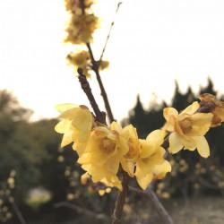 Chimonanthus praecox par johnquicker de Pixabay