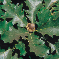 Quercus macrocarpa par USDA de Wikimedia commons