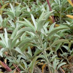 Salvia apiana par Stan Shebs Wikimedia
