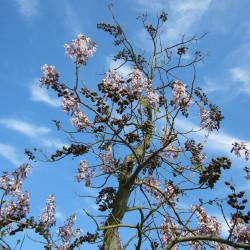 Paulownia tomentosa par WikimediaImages de Pixabay