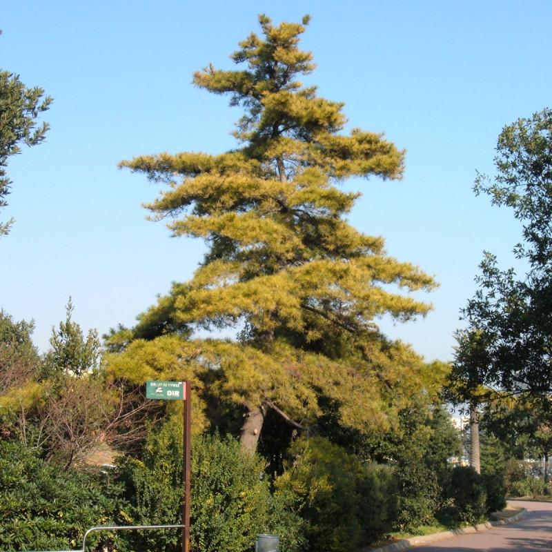 Pin de Monterey de Arturo Reina via wikimedia commons