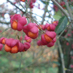 Euonymus europaeus Semences du Puy