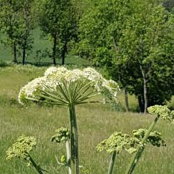 Heracleum sphondylium - Semences du Puy