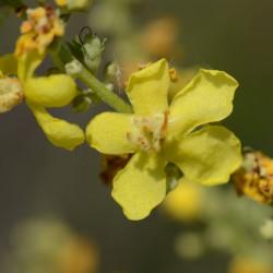 Verbascum lychnitis de Radio Tonreg from Vienna, Austria, CC BY 2.0  via Wikimedia Commons