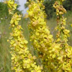 Verbascum lychnitis de Le.Loup.Gris, CC BY-SA 3.0 , via Wikimedia Commons