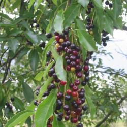 Prunus serotina de Rasbak, CC BY-SA 3.0 via Wikimedia Commons