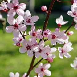 Prunus myrobolana par Peggy Choucair de Pixabay