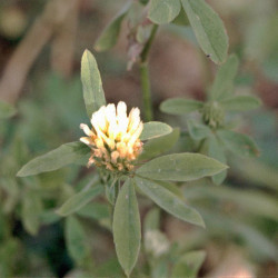 Trifolium alexandrinum de Fornax, Public domain, via Wikimedia Commons