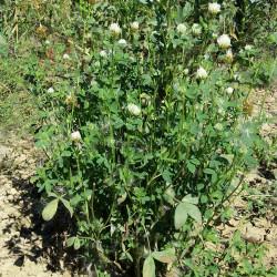 Trifolium alexandrinum de Stefan.lefnaer, CC BY-SA 4.0  via Wikimedia Commons