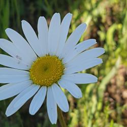 Leucanthemum vulgare - Semences du Puy