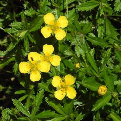 Potentilla erecta de Robert Flogaus-Faust, CC BY 4.0, via Wikimedia Commons
