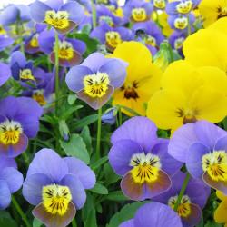 Viola cornuta par bestenz_2017 de Pixabay