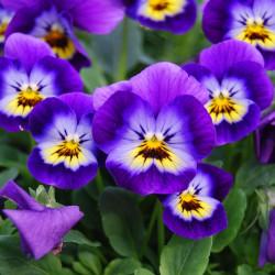 Viola cornuta par PATRICK DUTARTRE de Pixabay