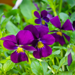 Viola cornuta par Th G de Pixabay