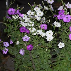 Petunia de Upadhyay pk Dr, CC BY-SA 4.0, via Wikimedia Commons
