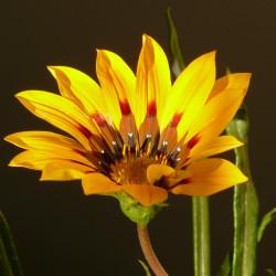 Gazania splendens Sunshine par Hans Braxmeier de Pixabay
