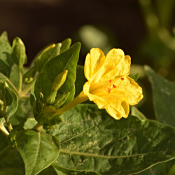 Mirabilis jalapa de Alejandro  Bayer Tamayo from Armenia, Colombia, CC BY-SA 2.0 via Wikimedia Commons