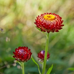 Helichrysum bracteatum de C T Johansson, CC BY 3.0, via Wikimedia Commons