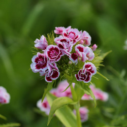 Dianthus barbatus par Manfred Richter de Pixabay