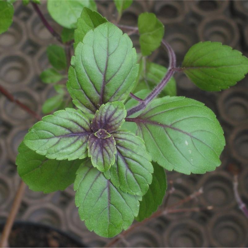 Ocimum basilicum de Rasbak, CC BY-SA 3.0, via Wikimedia Commons