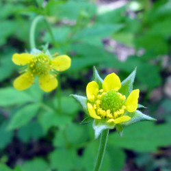 Geum urbanum de Randy A. Nonenmacher, CC BY-SA 3.0 via Wikimedia Commons