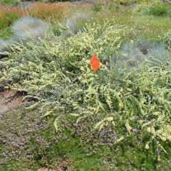 Sideritis syriaca de Jardins botaniques de Denver, CC0 via Wikimedia Commons