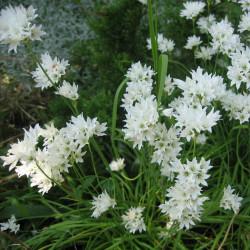 Allium ramosum de Wilhelm Zimmerling PAR, CC BY-SA 4.0 via Wikimedia Commons