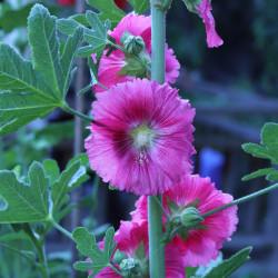 Alcea rosea ficifolia de S.G.S., CC BY-SA 4.0, via Wikimedia Commons