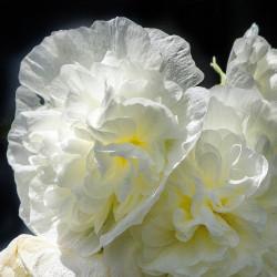 Alcea rosea par JamesDeMers de Pixabay