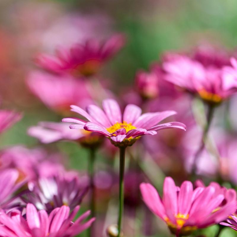 Chrysanthemum rose par Minh Lê de Pixabay