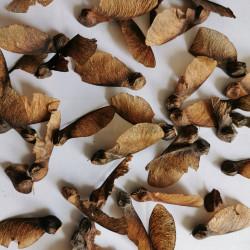 Graines d'Acer opalus var obtusatum - Semences du Puy