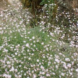 Gypsophila repens de Krzysztof Ziarnek, Kenraiz, CC BY-SA 4.0, via Wikimedia Commons