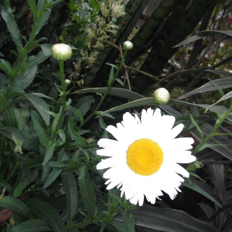 Chrysanthemum maximum de Yercaud-elango, CC BY-SA 4.0, via Wikimedia Commons